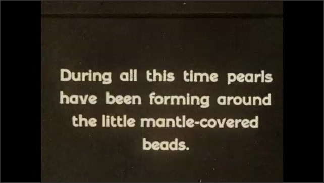 1930s: JAPAN: seven year old oysters brought into lab for testing. Man opens up oyster in lab. Mantle covered beads. Man pulls pearl from oyster shell