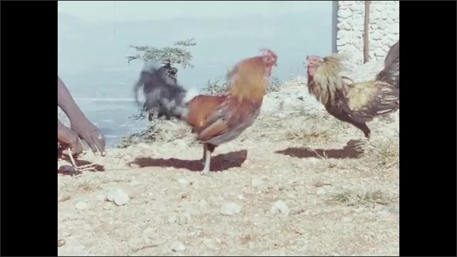 1950s: Panoramic view of towns and bay of Caribbean island.  Hands hold leashes of fighting game cocks. Game cocks fight.