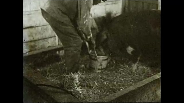 1930s: Barn.  Mother pig nurses babies.  Text describes how to feed and water mother pig.  Man holds bucket.  Pig drinks.