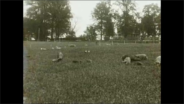 """1930s: Farm.  Hogs feed in pasture.  Text reads """"A dozen or more sows with their litters may be fed in the same pasture."""""""