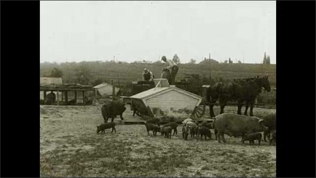 1930s: Barnyard.  Men pour feed into top of self-feeder.  Pigs eat.  Text describes feeding hogs.