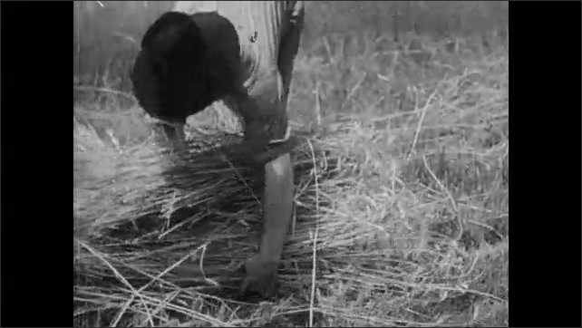 1930s: UNITED STATES: worker picks corn in field. Hand cuts hay with knife in Virginia. Two chimney house in Virginia