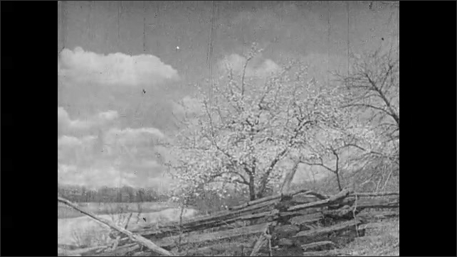 1930s: UNITED STATES: blossom buds on tree. Clouds in blue sky. Fence by trees. Horses pull plough in field. View towards buildings in countryside