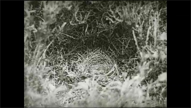 1930s: Two agitated baby birds move in a nest in the middle of a bush, one baby bird moves out of the nest. Intertitle.