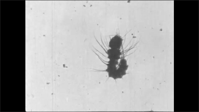 1930s: Title card. Newly born mosquito larvae cleans itself.