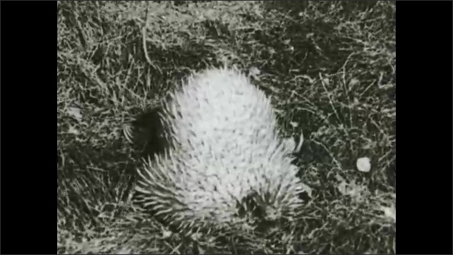 1930s: Man in blazer and hat scares wallaby away. Echidna or spiny anteater digs in grass and tries to go in hole.