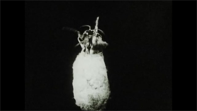 1930s: Intertitle about how the silkworm softens the cocoon with alkaline fluid and wriggles out. Moth wriggles out.