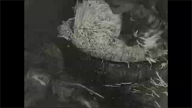 1930s: Title card. Shredded beets are dumped down shute into hole. Man stomps on beets to get them down into hole. A lid is shut over hole.