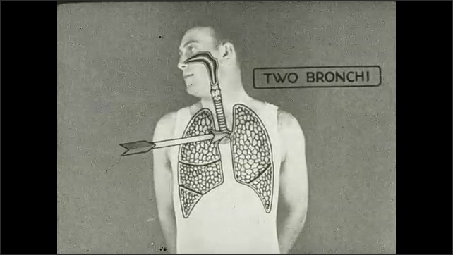 1930s: Animation overlay on man of respiration system. Arrow points to nose, larynx, the trachea, two bronchi, and their branches.