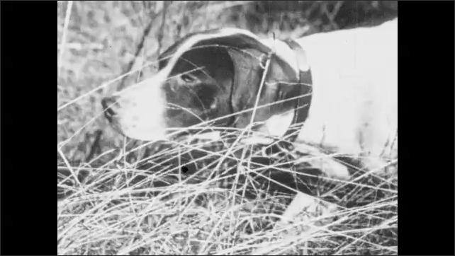 1930s: UNITED STATES: gundog walks with hunter. Dog stalks prey in grass. Bird in undergrowth
