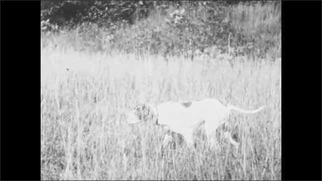 1930s: UNITED STATES: gundog watches bird in grass. Man shoots bird.