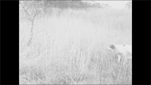1930s: UNITED STATES: men shoot bird. Dog retrieves bird from grass. Dog chases bird. Bird flies a=over meadow