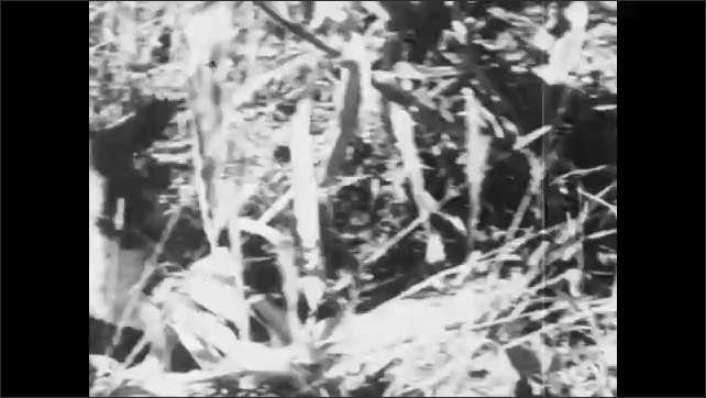 1930s: UNITED STATES: man shoots at bird. Cocker spaniel retrieves bird. Dog with pheasant.