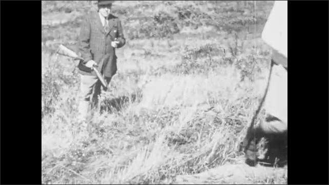 1930s: UNITED STATES: men hunt pheasants in field. Dogs wait to hunt. Man releases dogs on hunt.