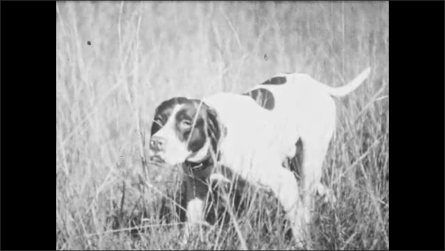 1930s: UNITED STATES: dog runs across grass. Dogs wait in grass.