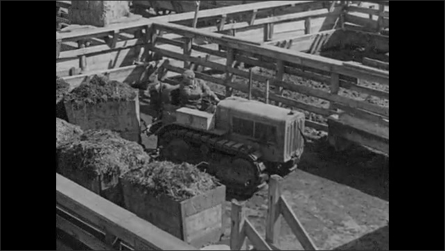 1920s: Men shovel manure into carts. Cattle walk through stockyards. The manure carts are hooked to a tractor and hauled away.