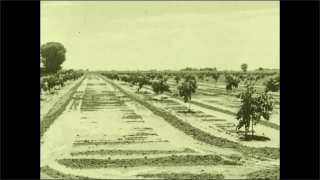 1930s: Men harvest crops. Irrigated field. Man shovels irrigation canals in field.