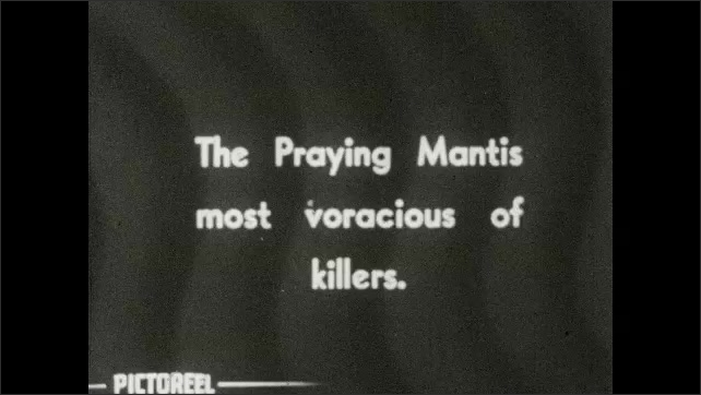 1930s: Close-up of praying mantis. Title card: The Praying Mantis most voracious of killers. Praying mantis eats butterfly.