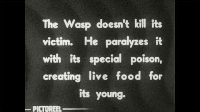 1930s: Hunting wasp crawls off rock and attacks cricket. Title card: The Wasp doesn't kill its victim. He paralyzes it with its special poison, creating live food for its young.