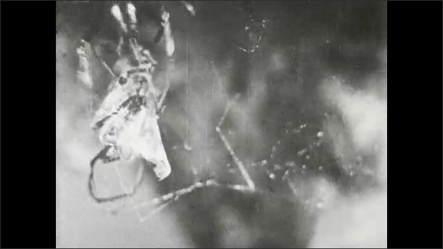1930s: Title card: The Wasp is caught in the web trap of the clever spider. Spider traps hunting wasp in spiderweb.