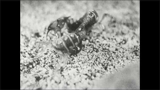 1930s: Scorpions battle.