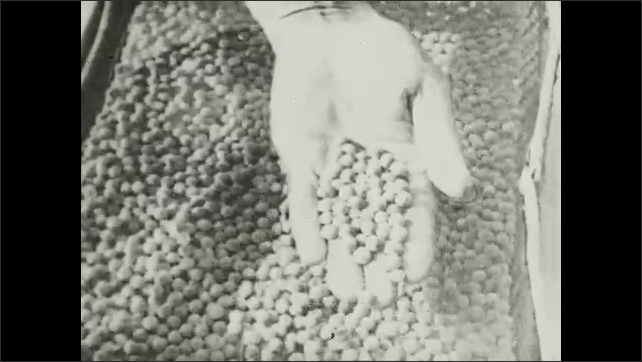 1930s: UNITED STATES: hand shows fish eggs to camera. Fish eggs in water. Small fry in hatchery