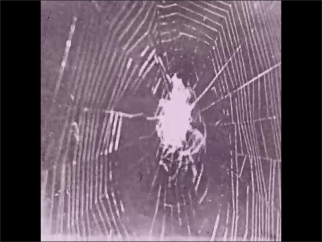 1930s: Spider in center of web makes cocoon of insect.