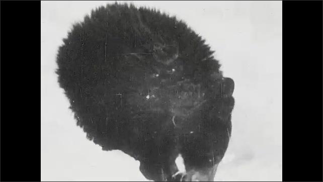 1930s: Bear eats out of pan. Boy talks to bear. Bear eats, boy stands next to bear.
