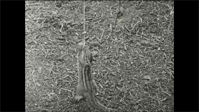 1930s: Chipmunk grabs at nuts hanging on strings. Title card. Chipmunk grabs at nuts hanging on strings. Title card.