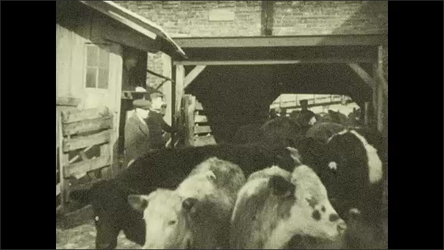 1930s: Intertitle ????he cattle is sold by a commission man???? Cattle on stockyard, man on a horse and a man whip cows. Herd of cows enters stockyard, men close gate behind. Cattle on a stockyard.