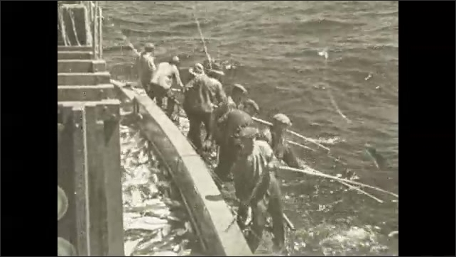 1930s: Men pull fish from ocean with large fishing rods. Men lift fish from ocean and drop them into piles on deck of boat.