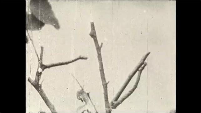 1930s: UNITED STATES: Large Thorn Moth mimics twig. Caterpillars on stick.