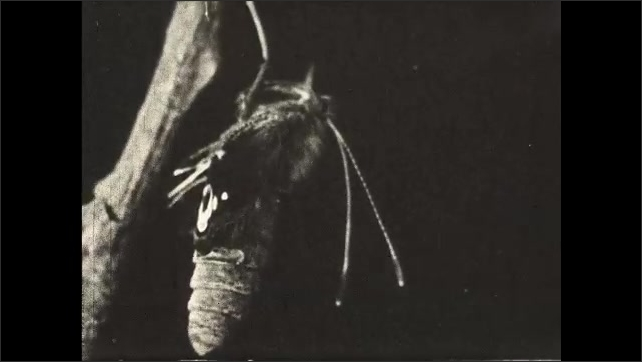1930s: UNITED STATES: butterfly on twig. Diagrammatic section through butterfly tongue. Air-tight tube tongue.
