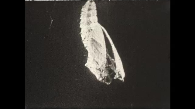 1930s: UNITED STATES: moth camouflaged on tree bark. Finger moves moth. Tortoiseshell Butterfly emerges from chrysalis.