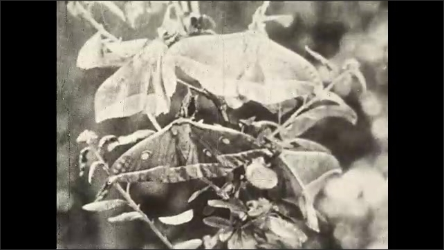 1930s: UNITED STATES: Moths and butterflies in the garden. Butterflies on flowers in garden. Asiatic Swallow Butterfly. Moth on leaf. Butterfly flaps wings.
