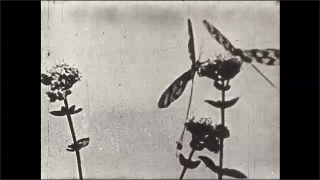 1930s: UNITED STATES: Asiatic Swallow Butterfly on plant. Butterfly keeper opens breeding cage