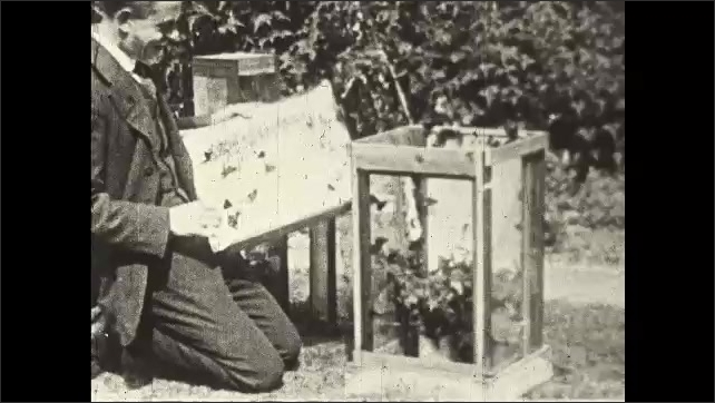 1930s: UNITED STATES: man liberates butterflies from breeding cage.