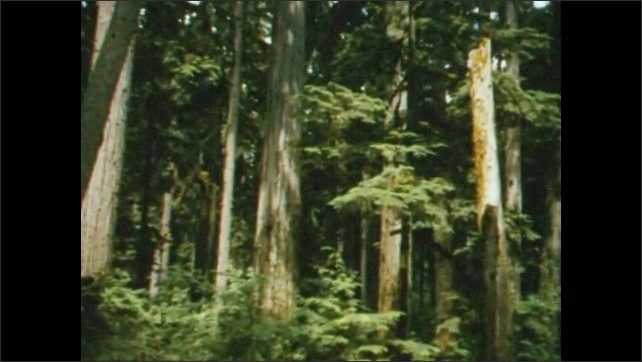 1950s: Rocky coastline, ocean waves roll in to shore. Dense stand of tall evergreen trees. Mountainous, forested landscape.