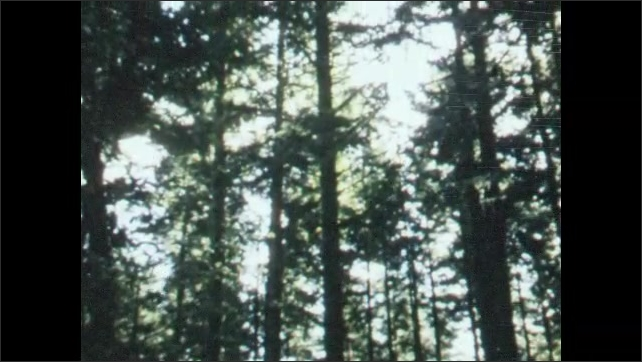 1950s: Dense, dark stand of tall evergreen trees, sunlight streaming into canopy, many perfectly straight tree trunks.