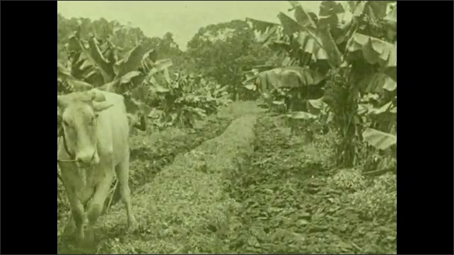 "1930s: Oxen plow between rows of banana trees on plantation. Intertitle ""Trained from boyhood in plantation work, thousands of natives never leave the limits of their land-owner's acres""."