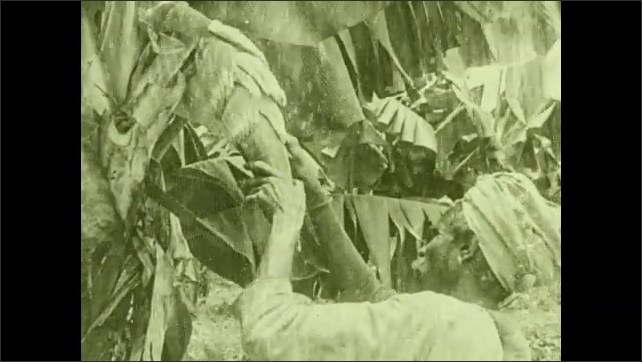 """1930s: Worker peels back bud growing on banana plant. Intertitle """"Tiny baby bananas show the """"bunch """"formation""""."""