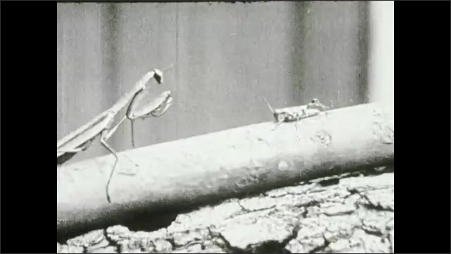 1930s: Close up of praying mantis. Praying mantis on stick insect. Close up of mantis. Mantis with insect.