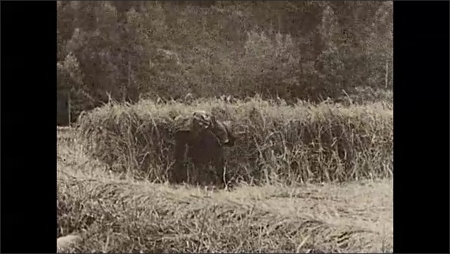 1930s: ASIA: Harvesting rice in Japan. Man cuts rice in field. Works in field