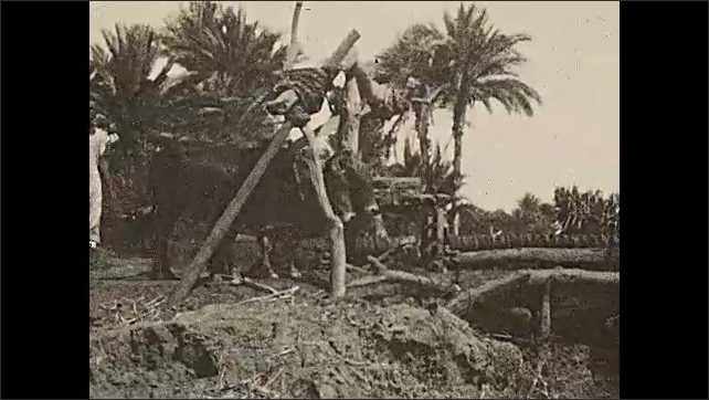 1930s: AFRICA: banks of River Nile. The creak of the Sakieh. Cows pull cart. Cattle power water mill.