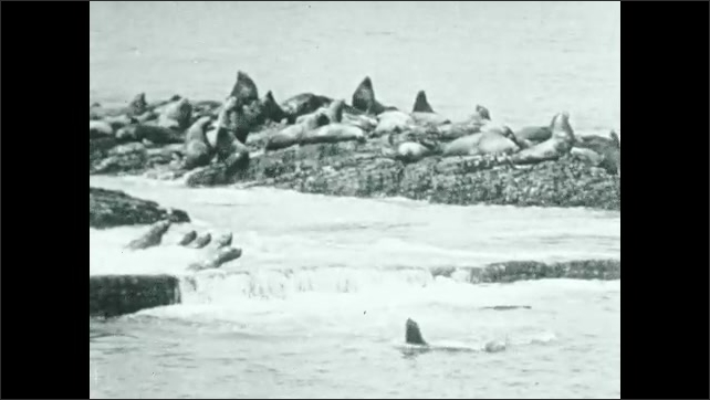 """1930s: Seals in slow motion waves. Intertitle """"For every 30 cow seals there is a bull - a hulking monster who weighs 500 pounds - and looks it""""."""