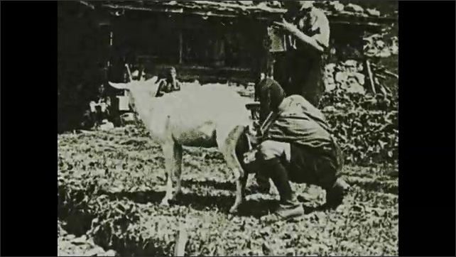 1920s: Boy milking goat. Intertitle. Boy milking goat, boy drinks milk. Woman herding goats down hill.