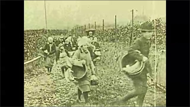 1920s: Intertitle. Tracking shot of vineyards. People walking on path with baskets. People picking grapes in vineyard.