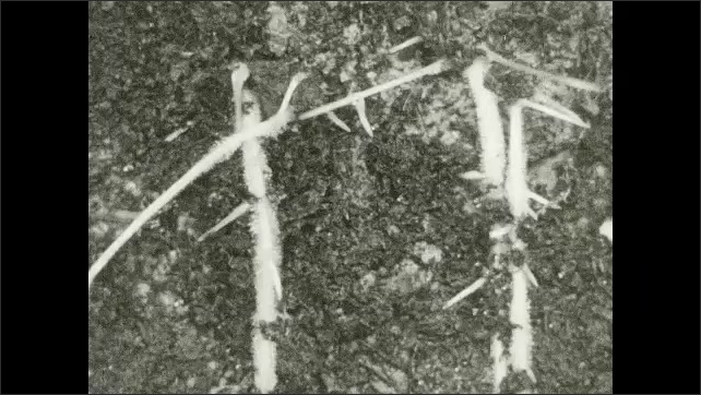 1930s: UNITED STATES: time lapse of plant roots growing and appearing