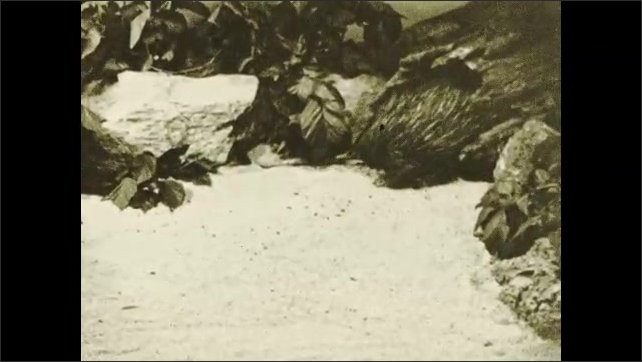1930s: Title card. Echidna slowly emerges from tree stump. Title card.