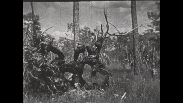1930s: Seminole Indian hunter with rifle crawls under fallen tree to hunt.